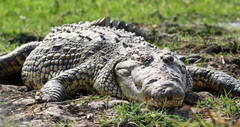 Les différents types de crocodiles en Namibie
