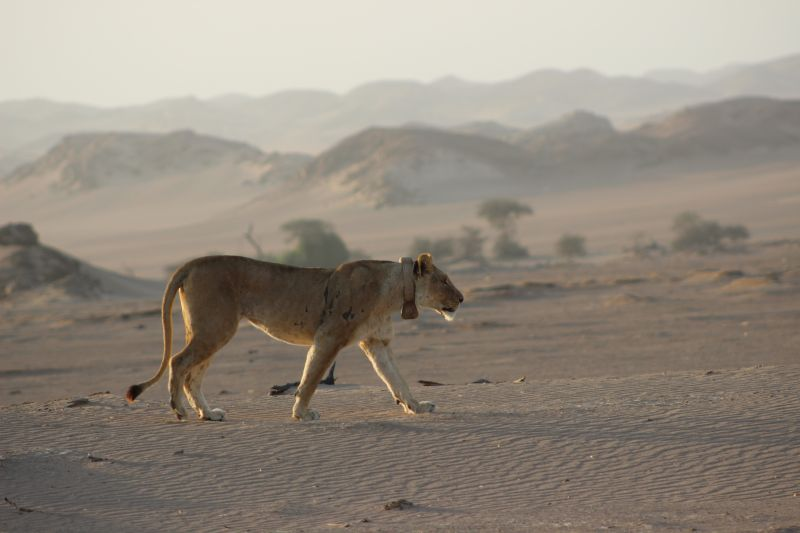 Le lion (Panthera leo) en Namibie