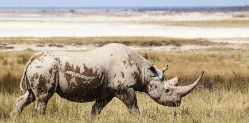 Les rhinocéros blanc et noir en Namibie