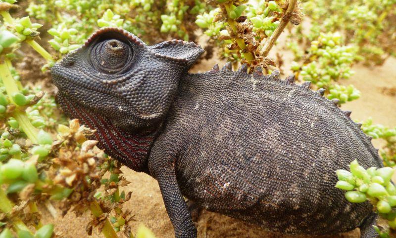 Les autres reptiles (serpents, lézards, caméléons...) en Namibie