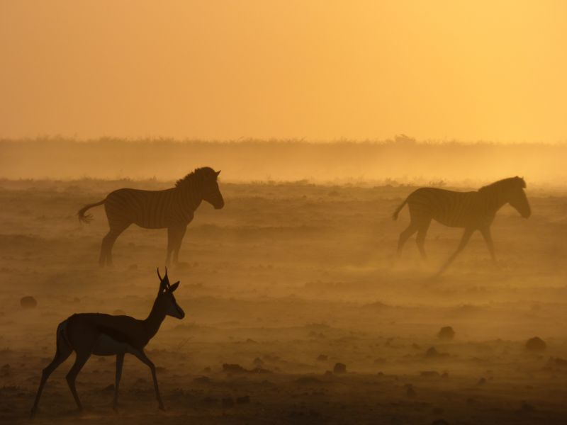 Les nombreuses antilopes de Namibie