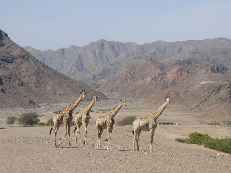 Les Girafes en Namibie