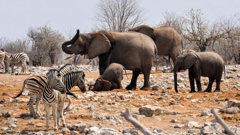 Les éléphants en Namibie