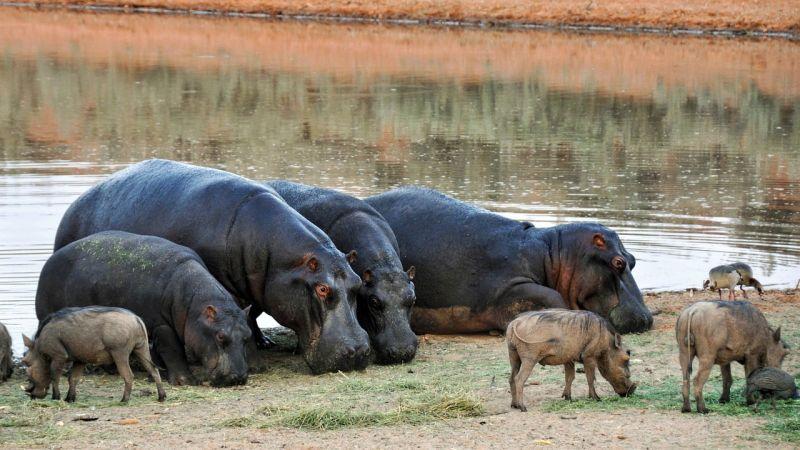 Les 1300 hippopotames de Namibie