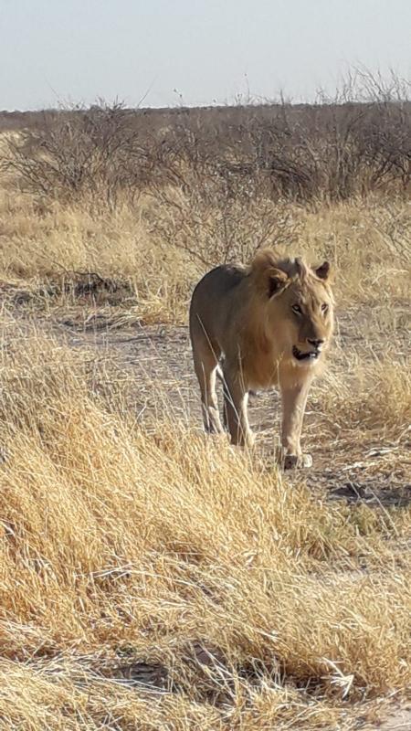 Lion - Parc National d'Etosha
