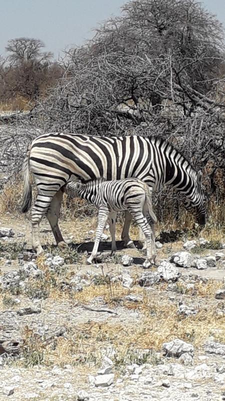 Zèbres - Parc National d'Etosha